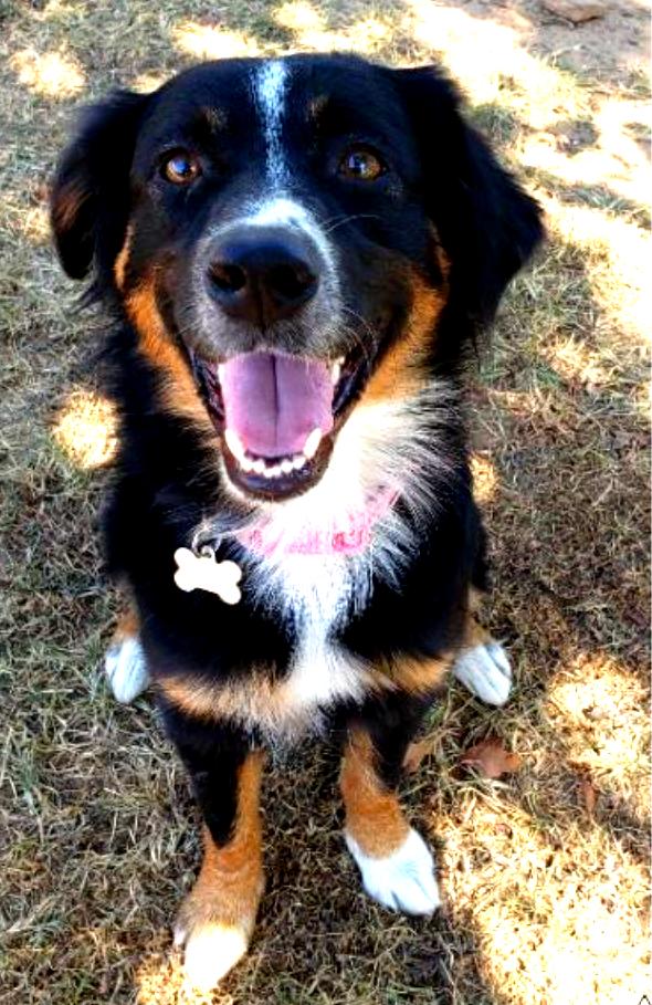 Australian Shepherd puppy for adoption