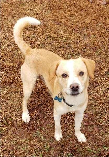 Beagle Australian Cattle Dog for adoption