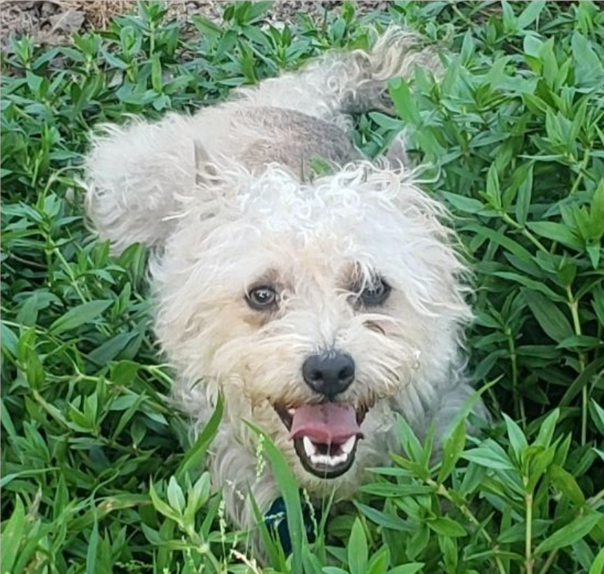 Bailey the Poodle Border Terrier for Adoption